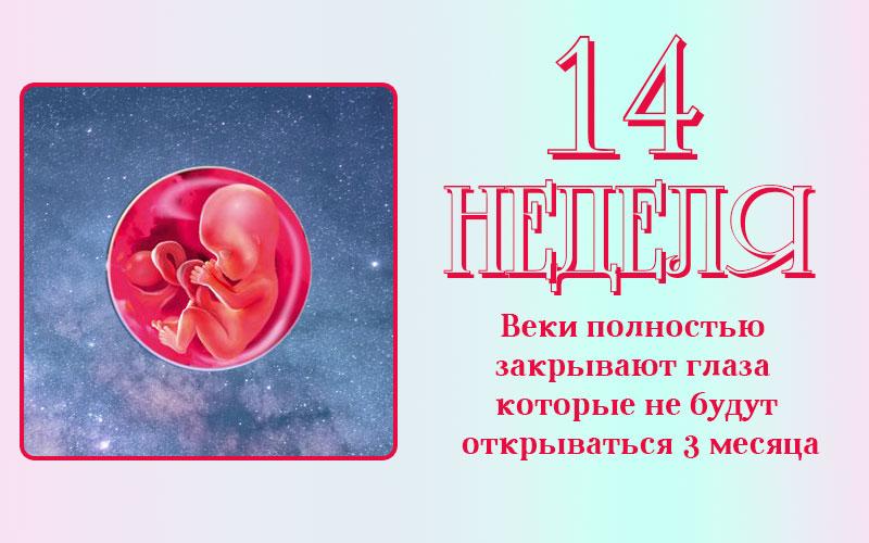 Развитие плода на 14 неделе беременности
