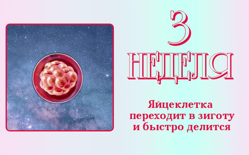 Развитие плода на 3 недели беременности