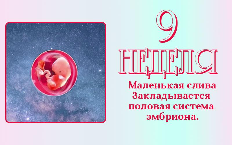 Развитие плода на 9 неделе беременности